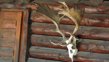 rifleman: cr�neo con cuernos en un pabell�n de caza