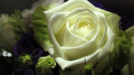 cleanness: la purezza e la pulizia di una bella rosa bianca Archivio Fotografico