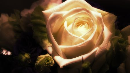 cleanness: the purity and cleanness of a beautiful white rose
