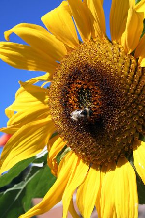 sunflower with bee and blue sky in the background photo