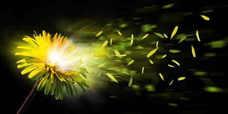 A nice yellow dandelion explode and the leaf is flying away photo