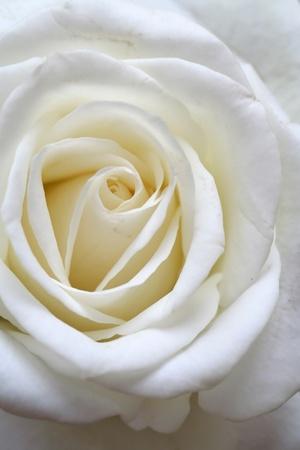 cleanness: la rosa bianca - il simbolo della pulizia e della purezza