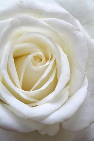 cleanness: the white rose - the symbol of cleanness and purity Stock Photo