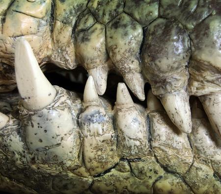 crocodile: dientes grandes de cerca de un cocodrilo en el desierto