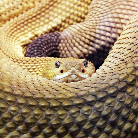 limbless: Big snake is living in the wilderness