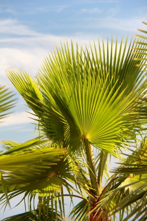 palm leaf with blue sky and backlight Stock Photo - 15236891