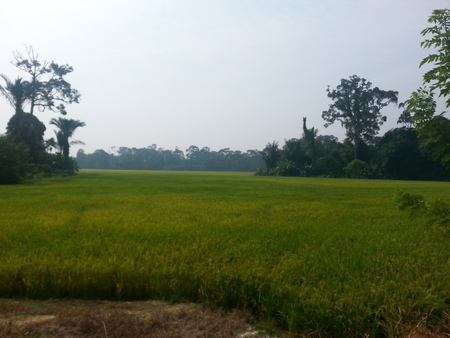 view at the paddy field