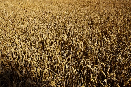 cereal plant: Field of cereal, ears, cereal plant. Food, carbohydrates. Stock Photo