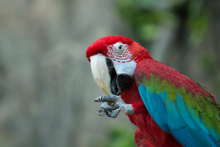 macaw: Macaw parrot cleans his paw Stock Photo