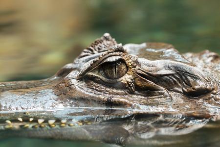 alligator eyes: Alligator head close-up, expressive eyes and impressive reptile teeth size