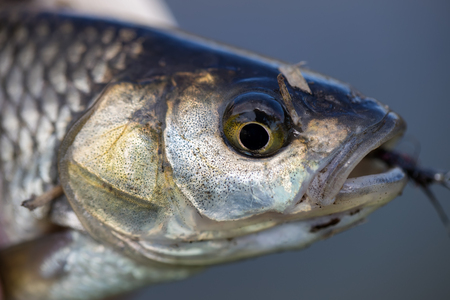chub: Chub fish caught on fly