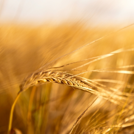 Closeup photo of a golden wheat in field under sunset rays Stock Photo - 21562485