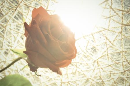 Red rose against sunlight.  Stock Photo - 21604649