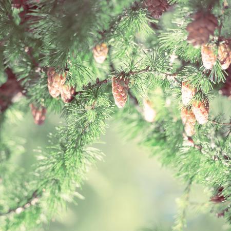 Young larch cone, larch tree. Retro style photo Stock Photo