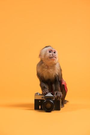 Capuchin monkey with retro vintage camera on yellow background