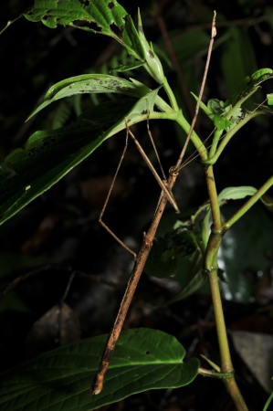 night stick: Stick insect found at Fraser Hill, Pahang, Malaysia Stock Photo