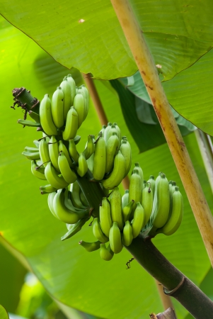 sighting: Green premature banana fruit on banana tree as a common sighting in tropical countries