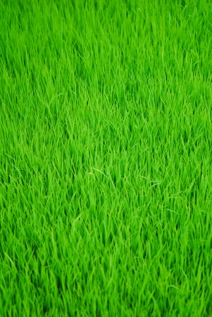 Short green paddy plant forming a nice pattern photo