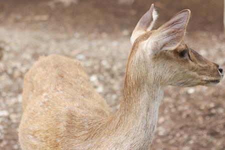 herbivores: deer focusing on the neck