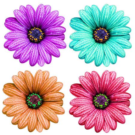 senecio: Colorful Senecio flower with water drop on segment isolated on white