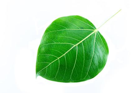 bodhi tree leaf isolated on white background photo