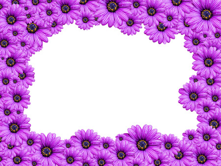 senecio: frame from Violet Senecio flowers isolated on white background
