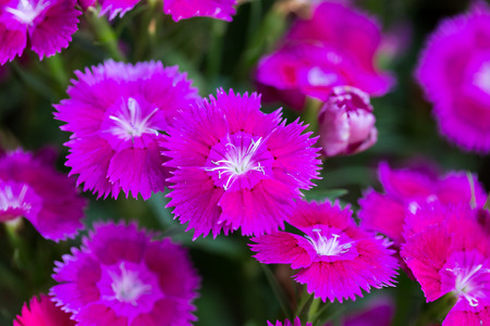 Closeup of pink Dianthus Chinensis Flowers Stock Photo