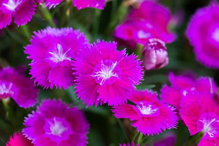 Closeup of pink Dianthus Chinensis Flowers Standard-Bild