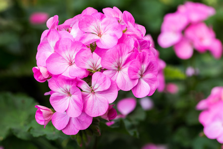 Pink Hydrangea Flower for nature background photo