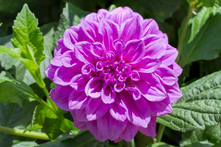 tinge: Pink tinge dahlia Flower Stock Photo