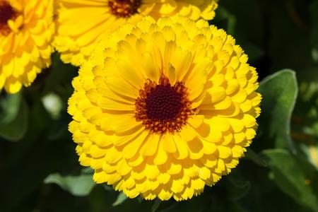 Yellow flower of October Birth Flower Calendula. photo