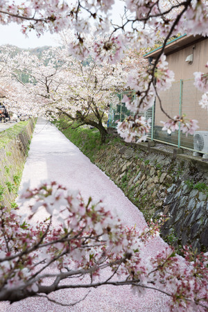 Cherry Blossom or Sakura flower at Philosophy path, Kyoto, Japan