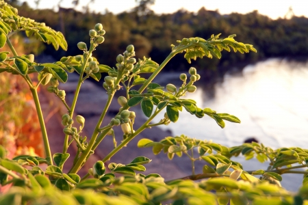 drumstick tree: Moringa oleifera  Stock Photo