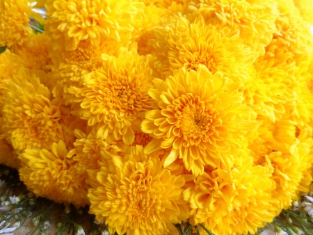 insecticidal: A close up of chrysanthemum plant