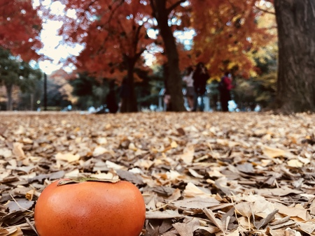 "ripe orange persimmon on ground which is full of ginkgo leaves with people, red maple trees and yellow ginkgo trees on background at japanese park, ""winter is coming"" concept Stock Photo"