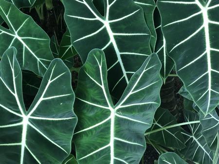 背景に使用して、日の光のフルフレームで象の耳の植物の暗い緑色の葉 写真素材