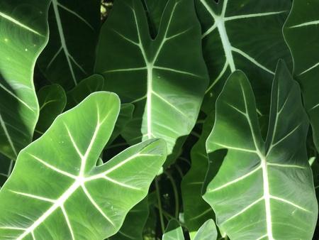 美しい太陽の光の中で象の耳の植物の明るい緑色の葉のフルフレームは、背景のために使用して光を照らします 写真素材