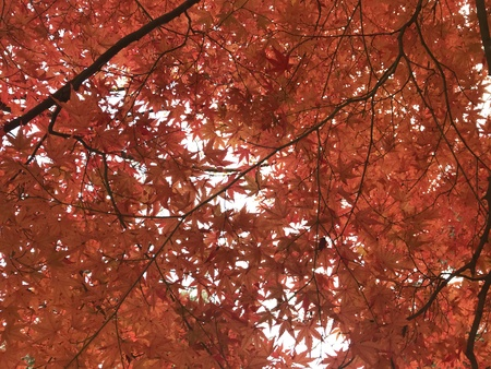 full frame shot of red maple leaves and bright sky, using for background for greeting autumn season Foto de archivo - 108044078