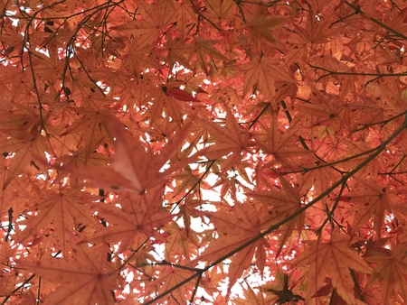red maple leaves and bright sky in full frame which is focused on background, using for background for greeting autumn season Foto de archivo - 108044080