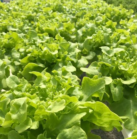 full frame shot of lettuce green oak vegetable on hydroponic garden in daylight Reklamní fotografie