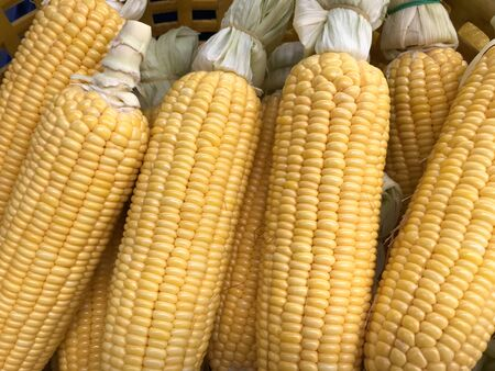 full frame shot of group of delicious yellow ripe sweet corns in natural daylight Stockfoto