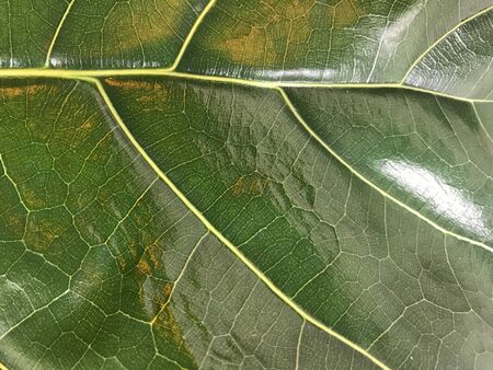 close-up shot of big green leaf vein of Fiddle Fig plant in full frame with bright light shine on it, using for background