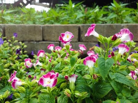Watercress flower bloom in Suan Thonburirom garden Thailand Bangkok. Stock Photo