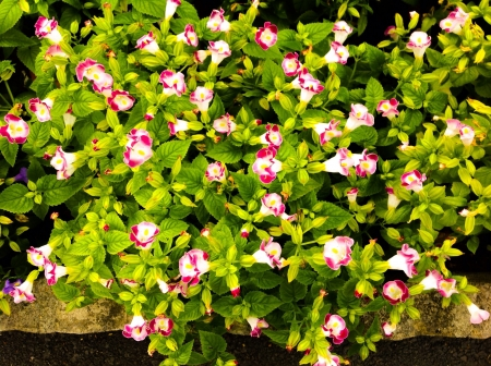 Watercress flowers bloom in Suan Ton Burirom Garden Thailand bangkok Stock Photo