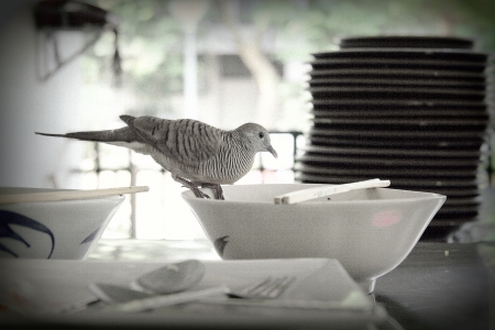 backstairs: A pigeon, In Thailand they  live in the city and eating with people in university canteen  Stock Photo