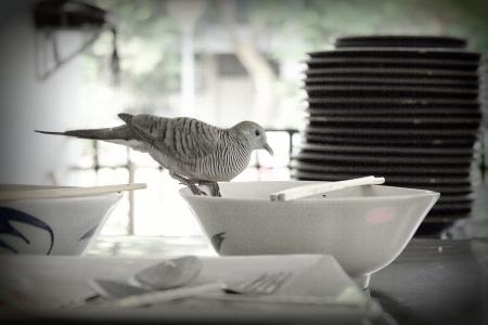 backstairs: Un piccione, In Thailandia vivono in citt� e mangiare con la gente in mensa universitaria