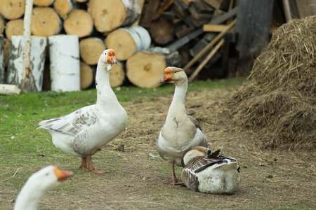 waterfowl: Geese are waterfowl belonging to the tribe Anserini of the family Anatidae