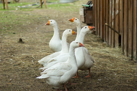 anatidae: Geese are waterfowl belonging to the tribe Anserini of the family Anatidae