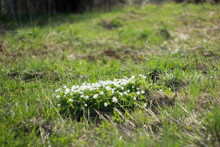 plants species: Galanthus � un piccolo genere di circa 20 specie di piante erbacee perenni bulbose in famiglia Amaryllidaceae Archivio Fotografico