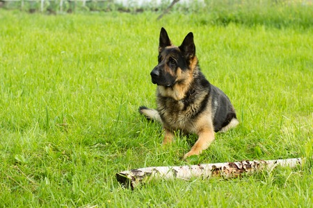 originated: The German Shepherd is a breed of medium to large-sized working dog that originated in Germany